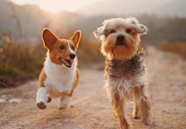 Câinele și cățelul de Grigore Alexandrescu (fișă de lucru interactivă pentru clasele primare)