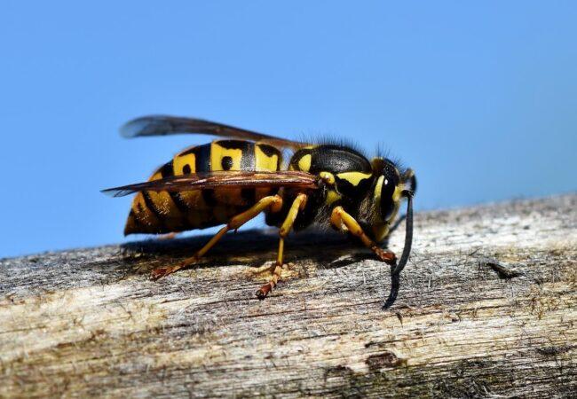 """""""Un viespe"""" sau """"o viespe""""? De ce gen este acest substantiv"""